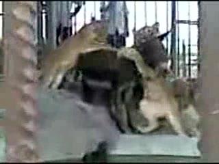 Львы против осла